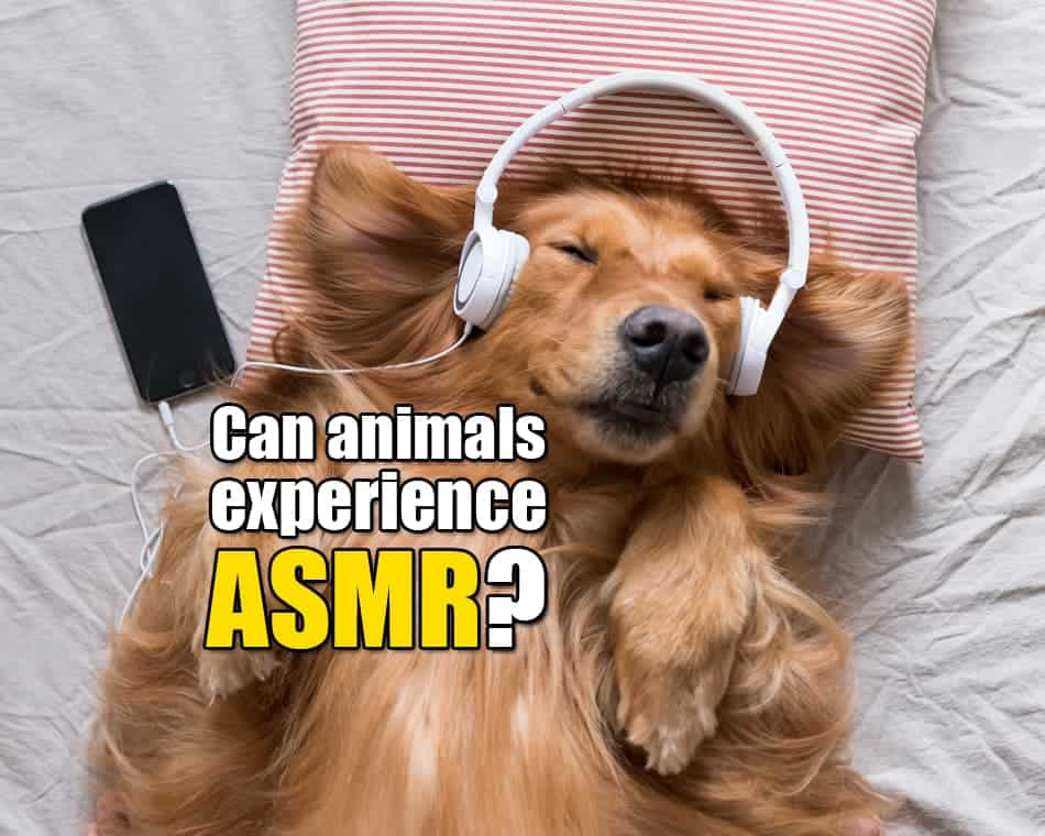 Can animals experience ASMR?