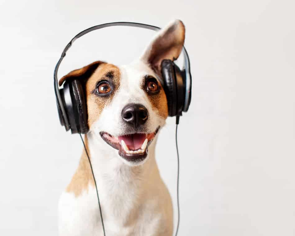 Can dogs experience ASMR?